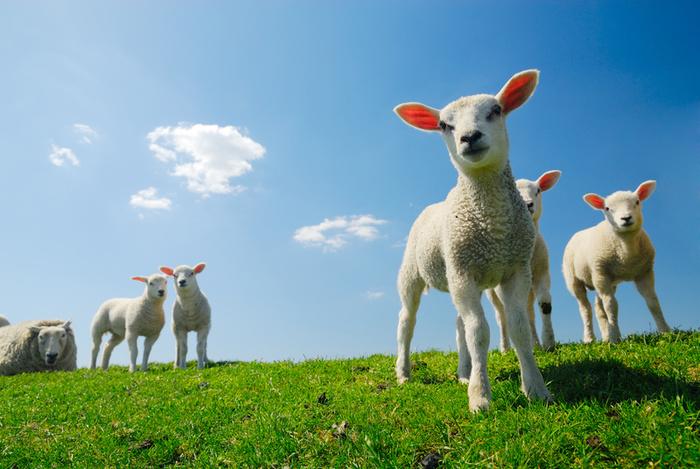 К чему снится овца женщине и насколько благоприятен такой сон?