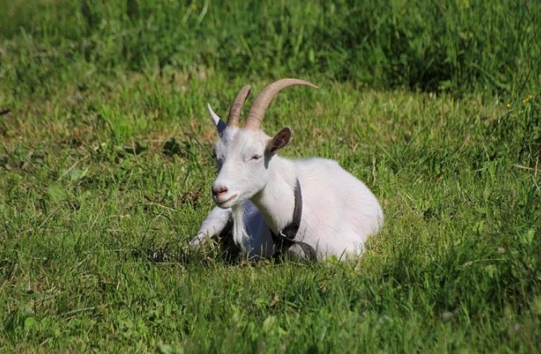 К чему снятся козы женщине и почему такой сон может быть благоприятен?